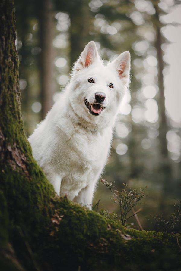 Weisser Schäferhund-Wald