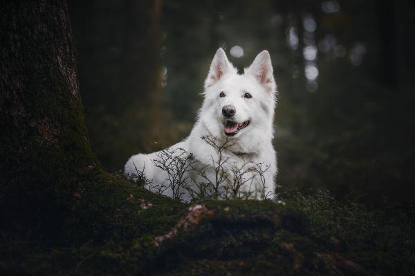 Weisser Schäferhund-sitzend