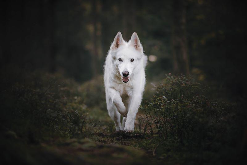 Weisser Schäferhund-springend